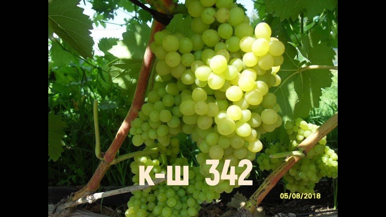 Виноград кишмиш 342: описание и особенности венгерского сорта, посадка и уход