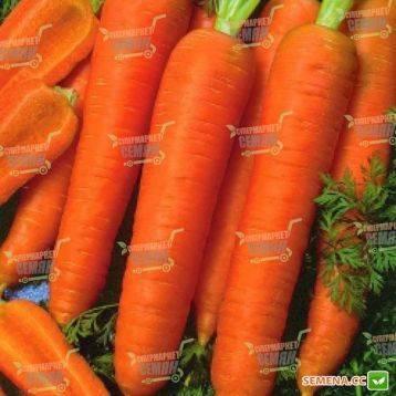 Характеристика сорта моркови дордонь
