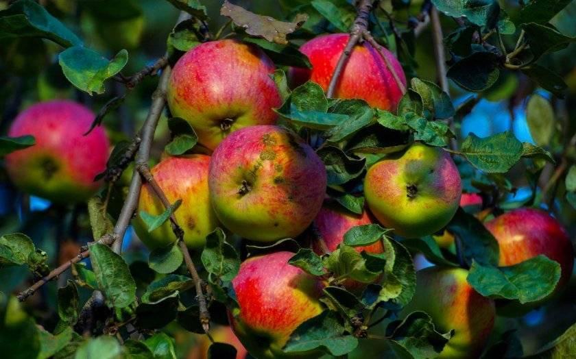 Сорт яблони старкримсон