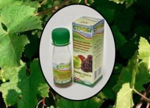 Инструкция по применению фунгицид строби для винограда