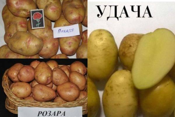 Сорт картофеля рябинушка: характеристика, особенности выращивания и ухода