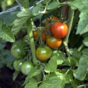 """Томат """"анюта f1"""": описание и характеристика сорта, фото помидоров, особенности выращивания"""