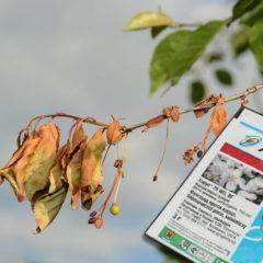 Фунгицид делан — инструкция по применению для персика, видео
