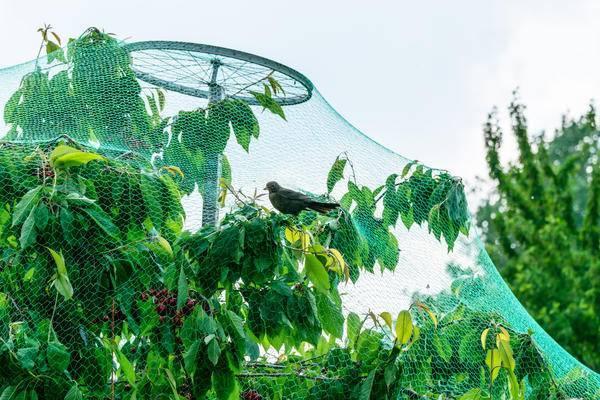 Чтобы сохранить урожай черешни, учимся защищать ее от птиц