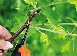 Коричневые пятна на листьях смородины: причины, способы избавления