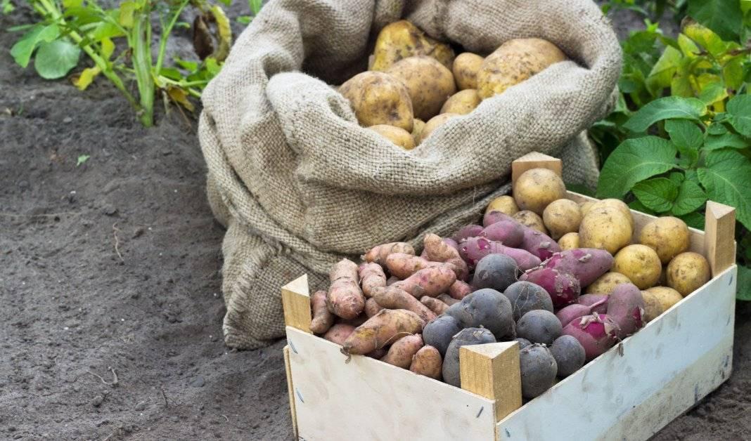 Картофель черный принц: описание сорта, характеристика, урожайность, отзывы, фото