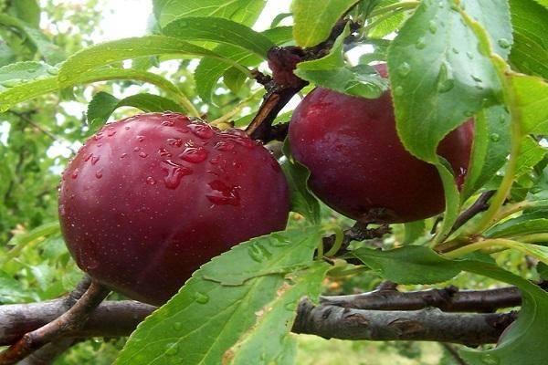 О сливе конфетная: описание сорта, агротехника выращивания, опыление