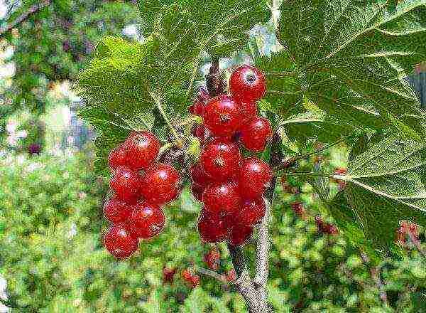 Сорт чёрной смородины галинка: плюсы и минусы