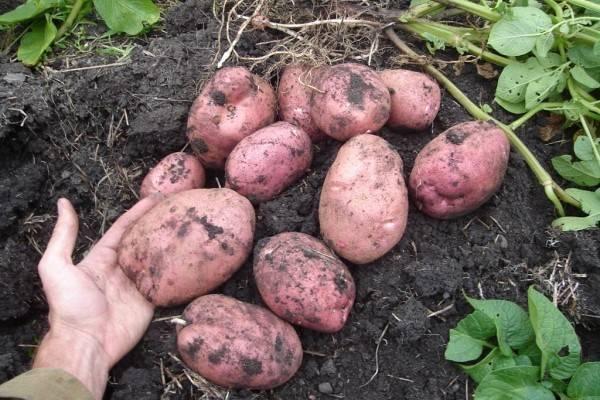 Картофель уладар: описание сорта, фото, отзывы