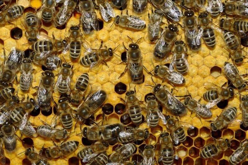 Септицемия пчел: симптомы, лечение и профилактика