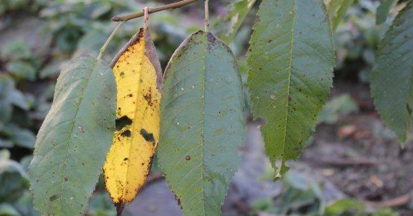 Особенности лечения коккомикоза вишни