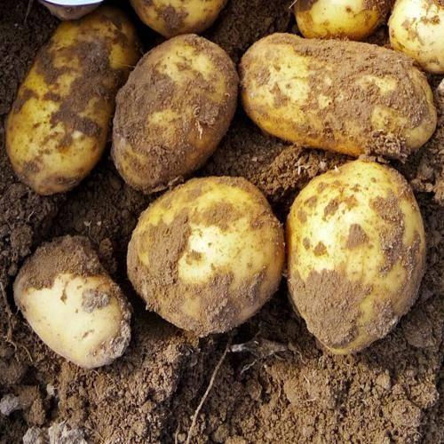 Описание картофеля сорта вега