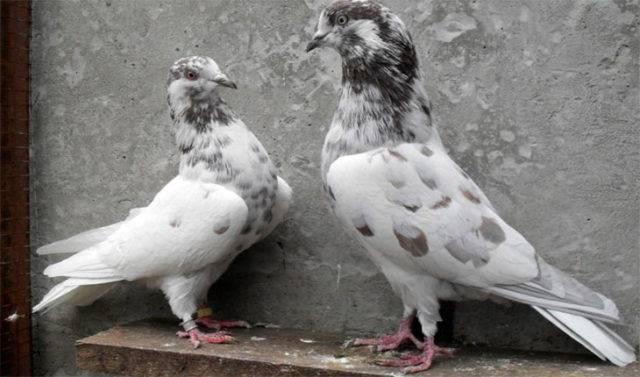 Бакинские бойные голуби: разновидности, фото и видео