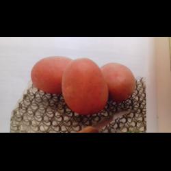 Картофель ред леди: описание сорта, фото, отзывы