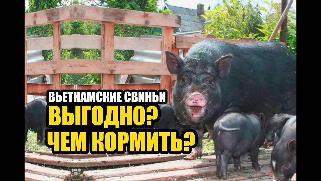 Сколько ходит беременная свинья