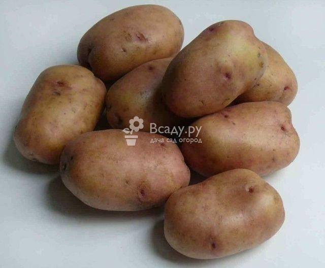 Картофель барон. картофель сорта барон