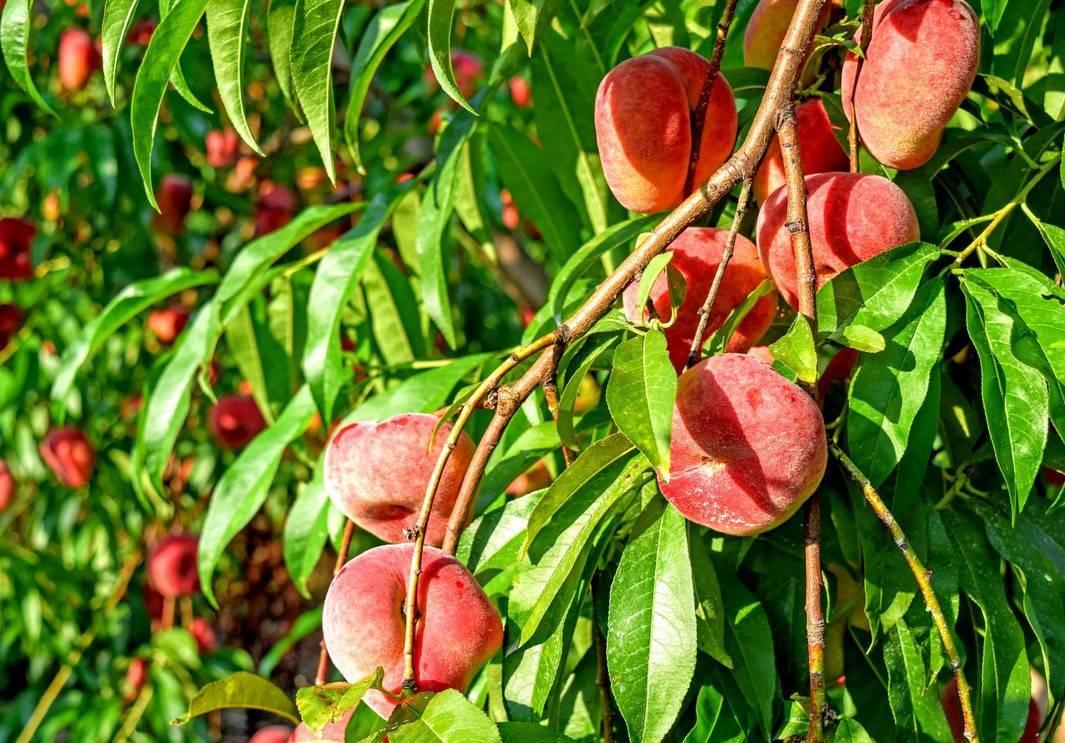 Правила выращивания персика из косточки в домашних условиях
