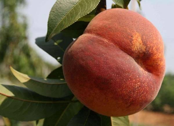 Персик киевский ранний – сладость лета на вашем столе