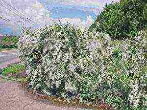 Посадка и уход за спиреей (46 фото): выращивание в открытом грунте на урале и в других регионах. что посадить рядом? как ухаживать за спиреей?