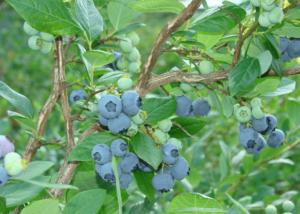 Сорт голубики дюк — описание и особенности выращивания