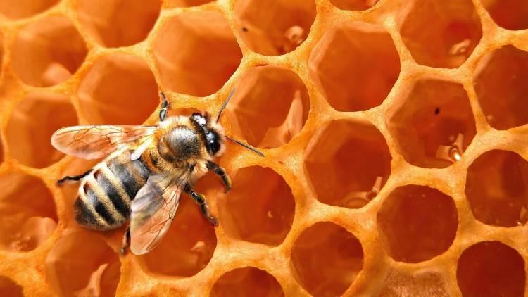 Особенности и характеристика пчелы-плотника обыкновенной