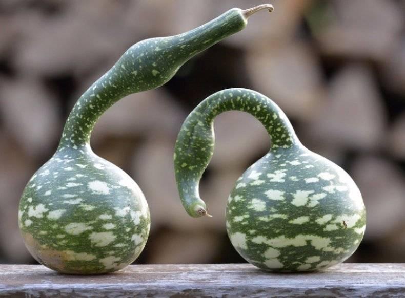 Как садить и ухаживать за бутылочной декоративной тыквой