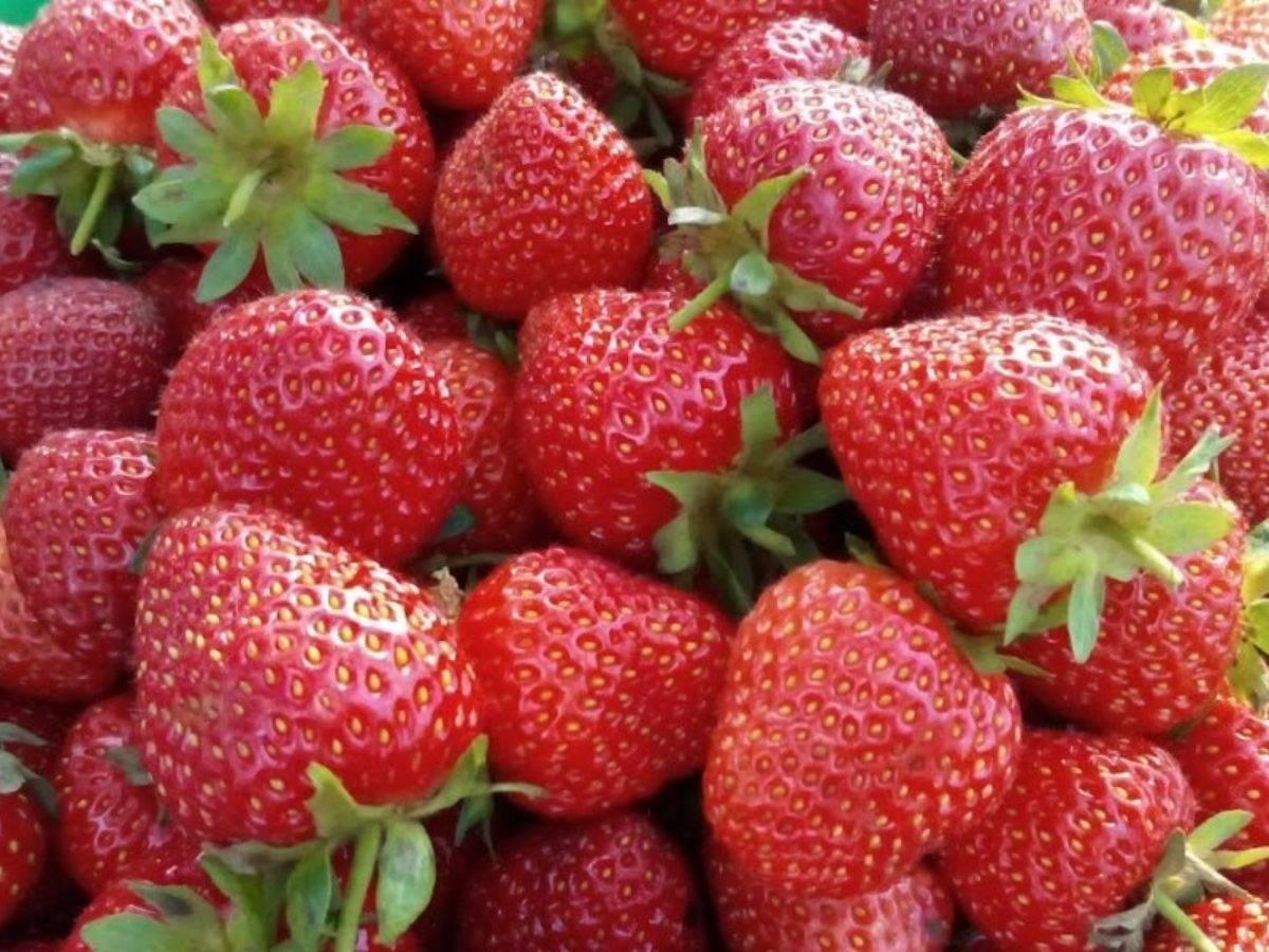Выращивание клубники по финской технологии — особенности, преимущества, инструкция