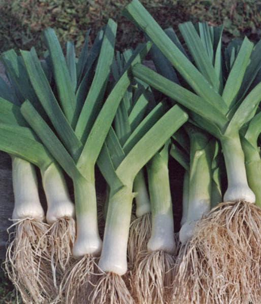Лук-порей сорта карантанский, особенности выращивания, описание и отзывы