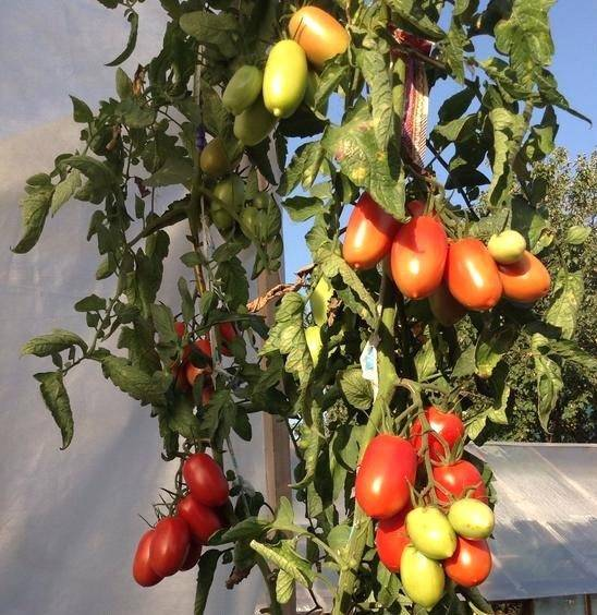 Описание томата царское искушение: отзывы, фото, урожайность