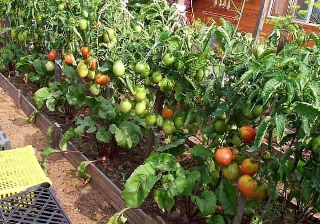 Штамбовые томаты— находка для начинающего дачника