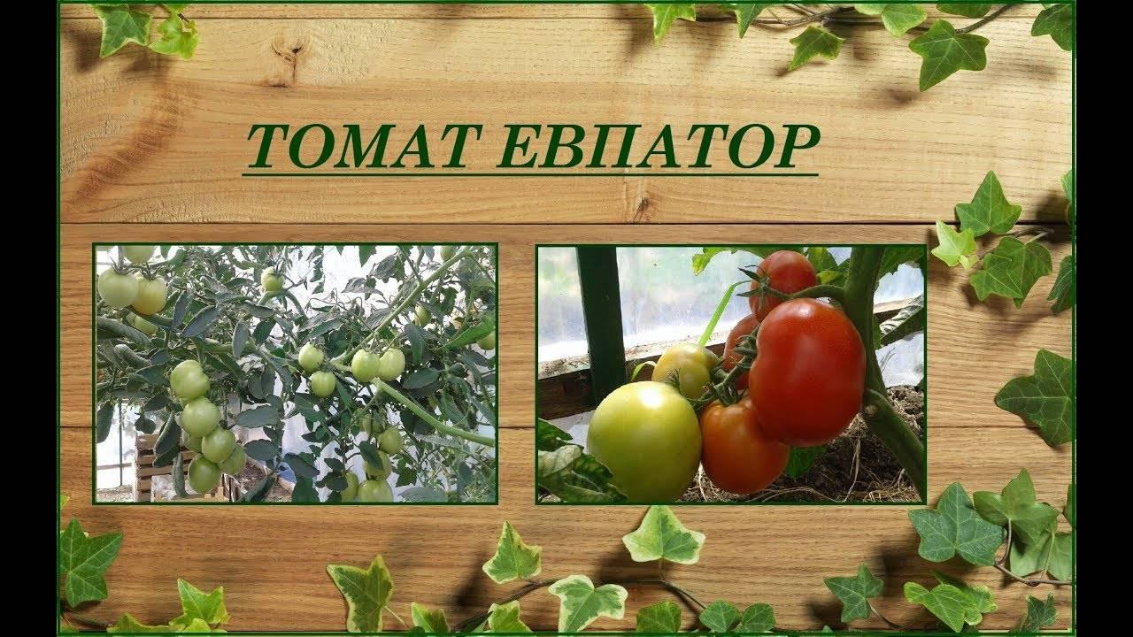 Сорт помидор евпатор: характеристики и особенности выращивания томата