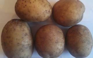 Сорт картофеля зорачка: характеристика, отзывы