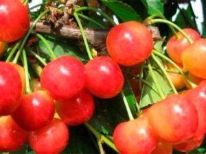 Черешня фатеж — один из лучших сортов для выращивания в центральном регионе россии