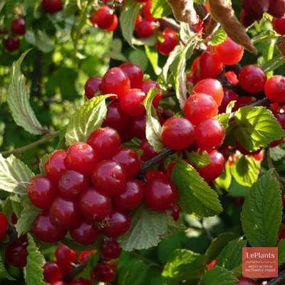 Вишня болотовская описание сорта. описание кустовых степных сортов вишни