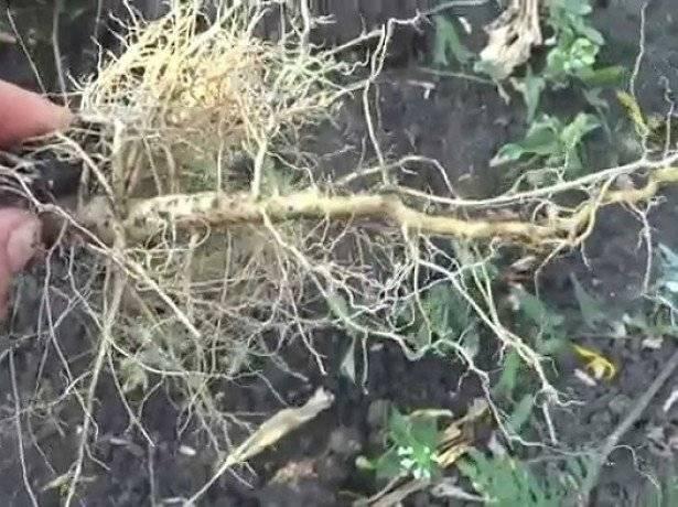 Польза и вред для организма корня подсолнуха
