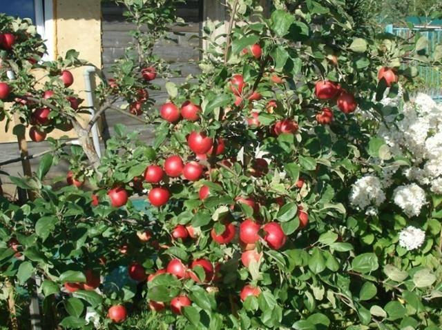 Яблоня колонновидная медок: описание сорта, фото, отзывы