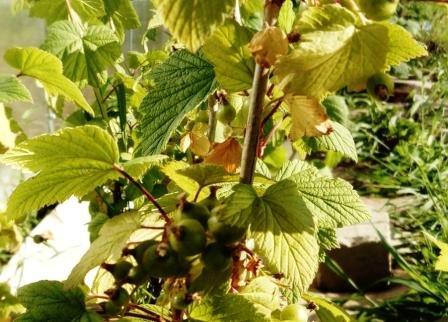 У смородины мелкие листья что делать. почему желтеют листья смородины: основные причины