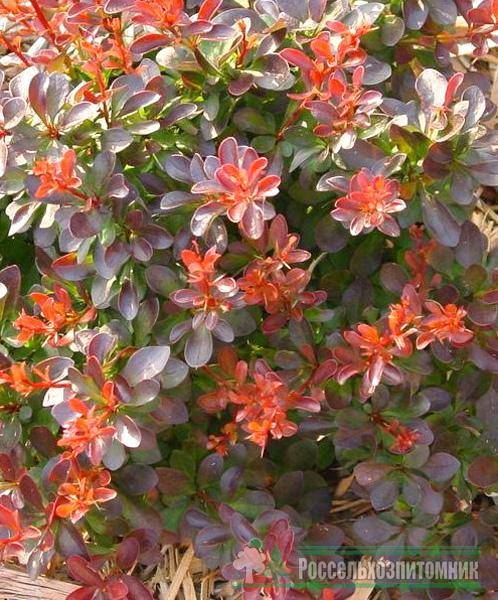 Berberis (барбарис) - зеленый двор