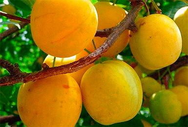 Особенности сливы сорта «скороплодная»