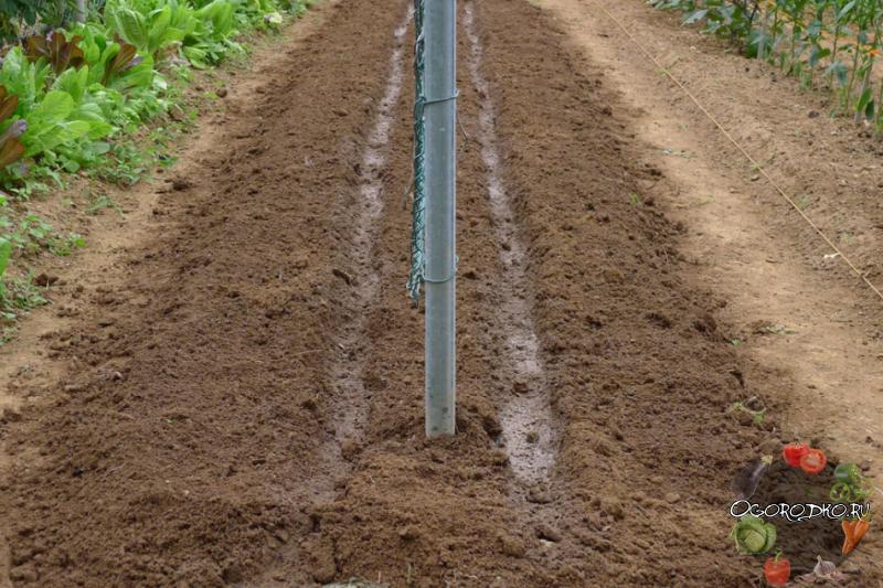 Пошаговая инструкция по посадке огурцов в грунт
