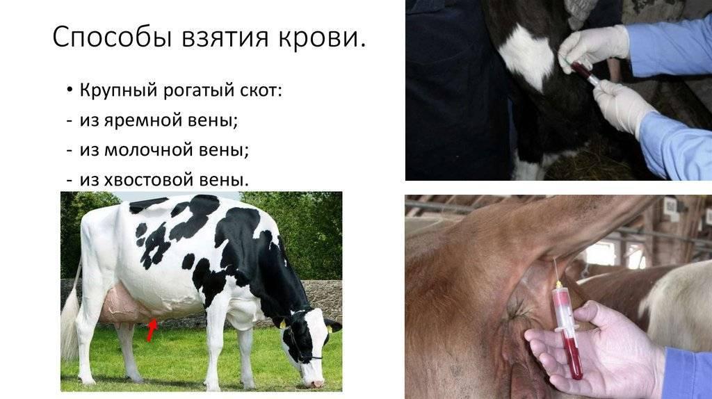Взятие крови из подхвостовой вены у крс. взятие крови у животных