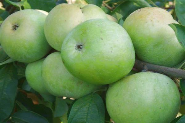 Описание и характеристики сорта яблок семеренко, польза и вред и особенности выращивания
