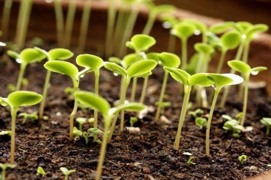 Голубиный помет как удобрение: как готовить, применение