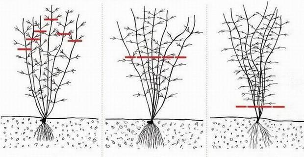Декоративный кустарник вейгела - посадка и уход, правила обрезки