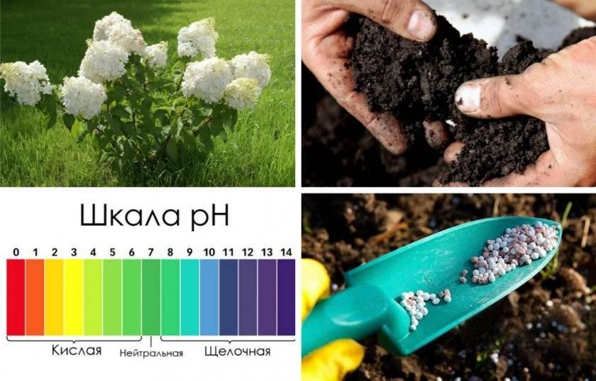 Чем подкормить гортензию – удобрения для роста и пышного цветения в саду