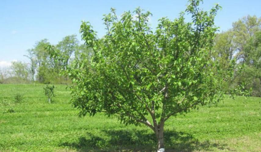 Описание яблони сорта коваленковское и правила выращивания