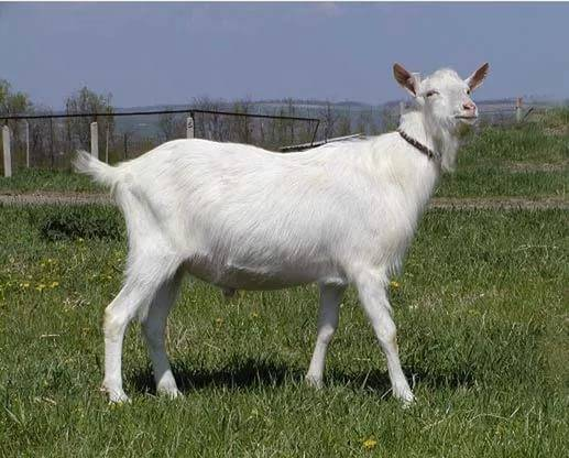 Породы безрогих коз