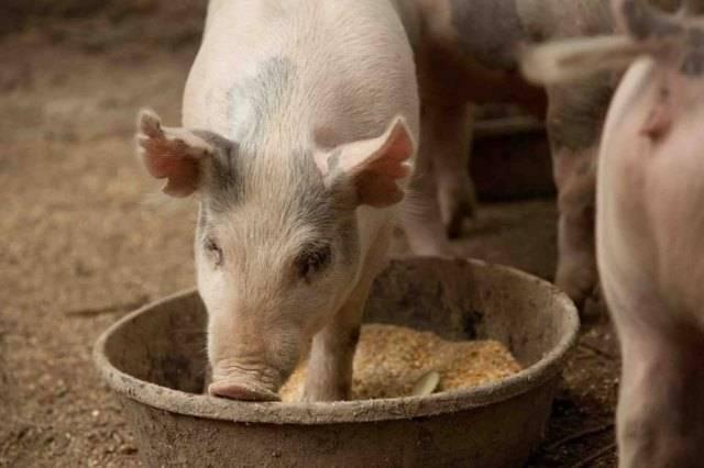 Самый эффективный откорм свиней в домашних условиях