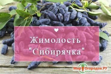 Жимолость плодовая съедобная нимфа — характеристики сорта