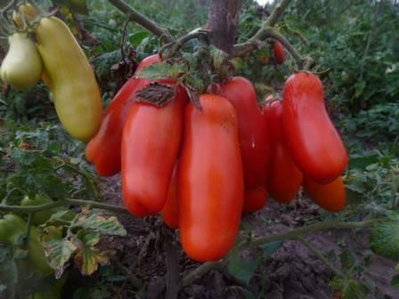 Сорт для любителей редких экзотических помидоров — томат «дрова»
